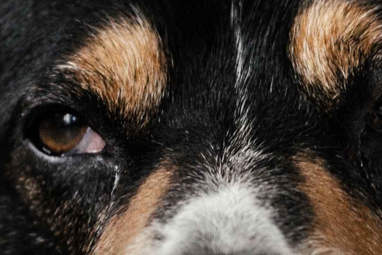 Familiar Dog Aggression